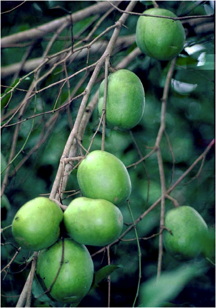 wild-mango-fruit-dika-fruit-ogbono-fruit
